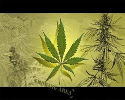 Феминизированные и женские семена марихуаны