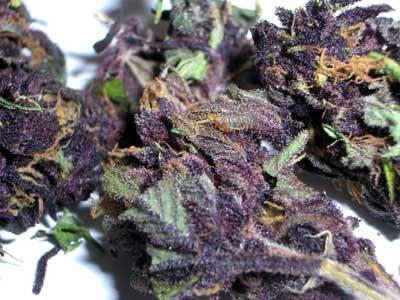 Описание сорта Purple Haze