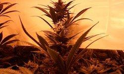 Гроу-репорт Durban Poison: период цветения