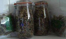 Гроу-репорт Durban Poison: сбор урожая