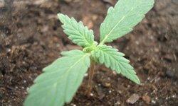 Гроу-репорт по выращиванию Medijuana: вегетативный период