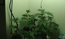 Гроу-репорт по выращиванию Medijuana: цветение