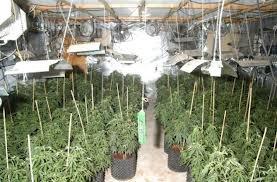 Выращивание марихуаны в теплице