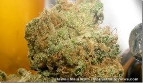 Описание сорта Hawaii x Maui Waui