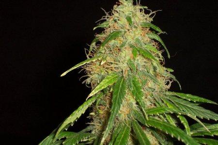 Гроу-репорт по выращиванию Medijuana: сбор урожая