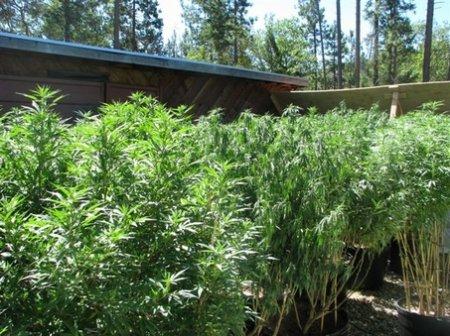Регулировка высоты растений марихуаны