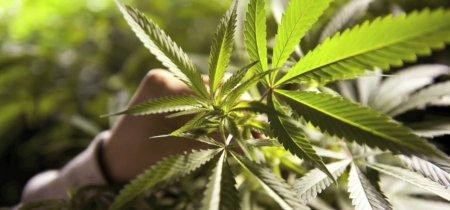 Пересадка марихуаны