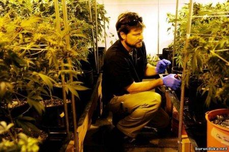 Основные  факторы, замедляющие рост марихуаны