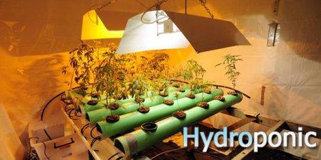 Выращивание конопли в гидропонике