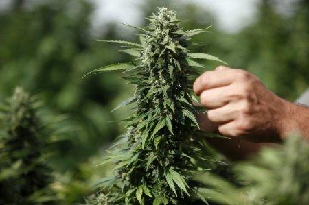 Выращивание марихуаны на открытом воздухе