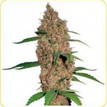 1355777247_strains-441.jpg