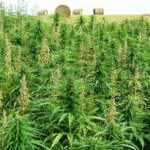 1361741782_discovery-of-cannabis-pharma-factory-617x416.jpg