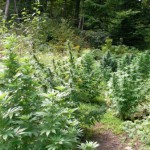 1361880773_outdoor-marijuana-grows-hemp-beach-tv-hbtv.jpg