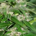 1362339285_i-love-marijuana-curing-300x224.jpg