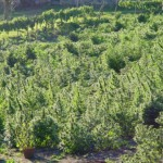 1362340731_commersial-cannabis-growing.jpg