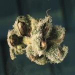 1388578289_marijuana-seeds.jpg