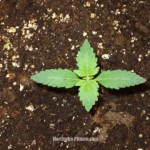 1388605091_just_germinated.jpg