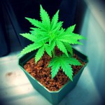 1401044641_a_beginner_s_guide_to_growing_marijuana_in_coco_coir.jpg