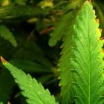1403144233_cannabis-nutrient-burn-sm.jpg