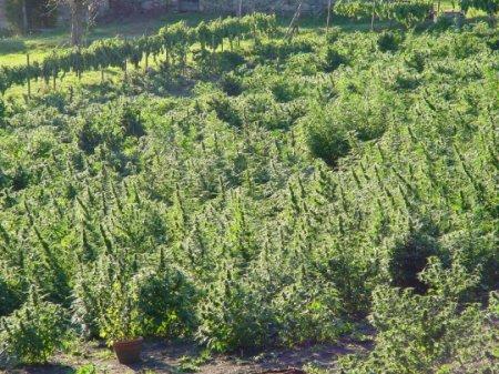 Выращиваем каннабис на открытом воздухе: сбор урожая