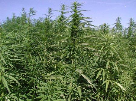 Выращиваем органическую марихуану