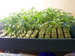 Семена марихуаны vs клоны
