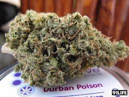 Гроу-репорт Durban Poison: вегетативный период