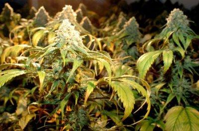УФ-освещение для цветения марихуаны