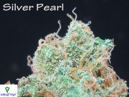 Описание сорта Silver Pearl
