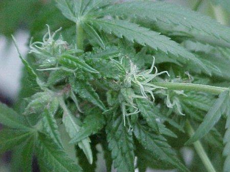 Почему не прорастают семена марихуаны