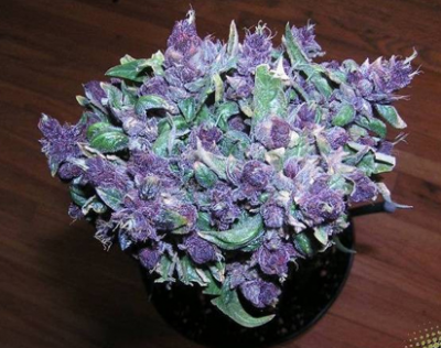 Описание сорта Lethal Purple