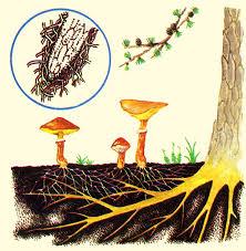 mikoriza