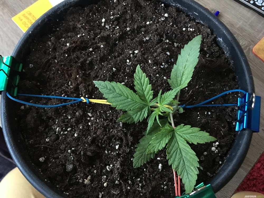 autoflowering, feminised, ukrainian seed bank, marijuana, cannabis, seeds, 420, weed, конопля, марихуана, выращивание конопли, каннабис, семена конопли, гроурепорт, завершённый гроурепорт,