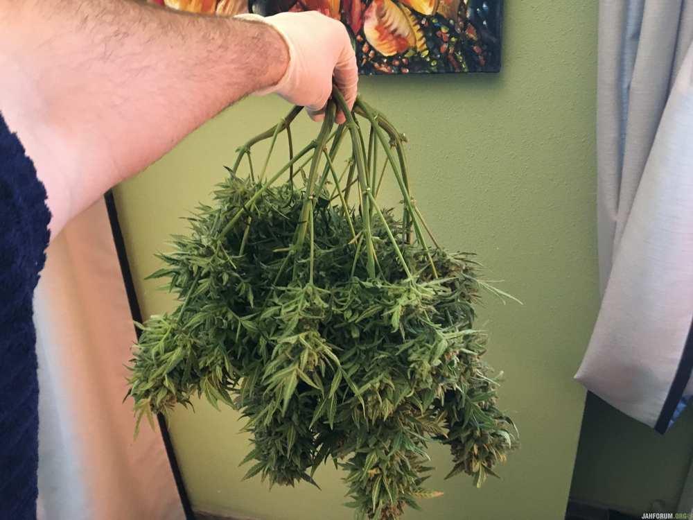 autoflowering, feminised, ukrainian seed bank, marijuana, cannabis, seeds, 420, weed, конопля, марихуана, выращивание конопли, каннабис, семена конопли, гроурепорт, завершённый гроурепорт, феминизированные семена конопли, сортовая марихуана, советы по выращиванию марихуаны, grow report, growing marijuana, grow, харвест, harvest,