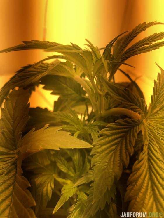 гроу бокс, гроу тент, выращивание марихуаны, скрог, двс, днат, 400 ватт, amherst sour diesel, humboldt seeds, ghe flora, diamond nectar, ripen, ph down, ph up, scrog, growbox, growtent, cannabis growing, growreport, репорт с фото, подробный репорт, удобрения для конопли, nutrients,